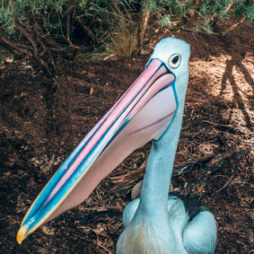Pelican, Taronga Zoo, 08.04.2019