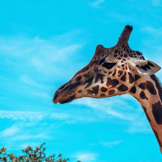 Giraffe,Taronga Zoo, 08.04.2019