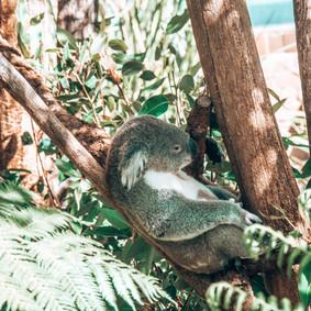 Koala,Taronga Zoo, 08.04.2019