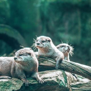 Otters,Taronga Zoo, 08.04.2019