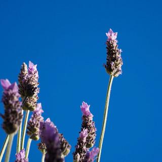 Lavender, 2018