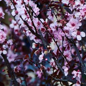 Cherry Blossoms, Sydney 2018