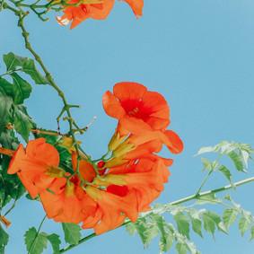 Flowers in Mykonos, 2018