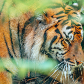 Sumatran Tiger, Taronga Zoo, 08.04.2019