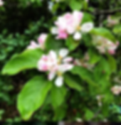 apple blossom.png