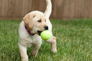 close-up-of-a-cute-yellow-labrador-puppy