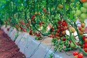 Tomate-cereja.png