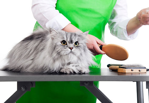 Silver long haired cat getting groomed.