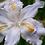 Thumbnail: Iris Tectorum Cruella
