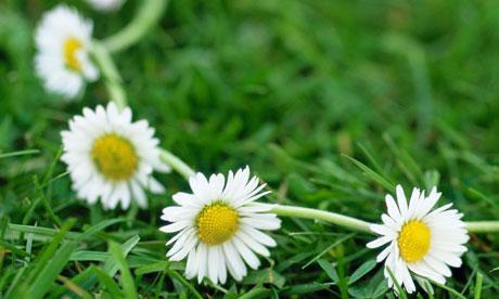 daisy chain.jpg