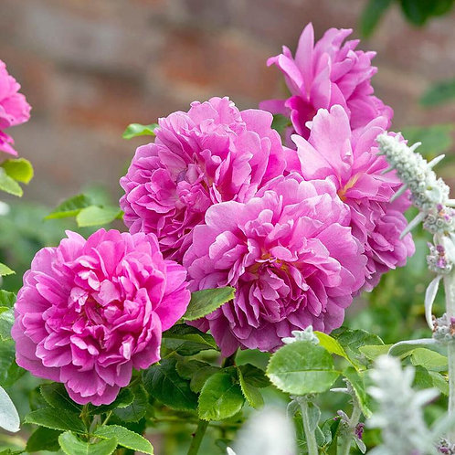 David Austin Rose Princess Anne