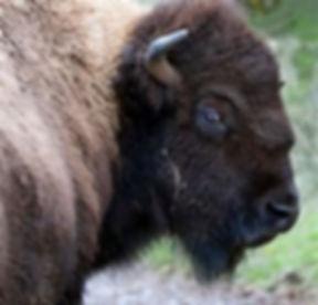 Buffalo face.jpg