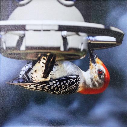Woodpecker-Red