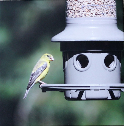Goldfinch-Male