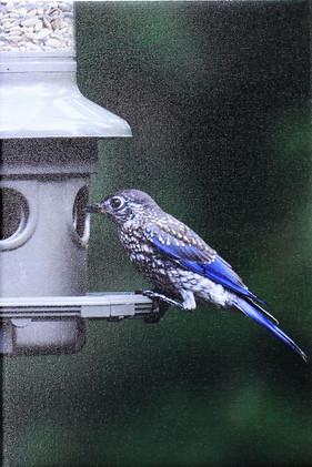 Bluebird-Juvenile
