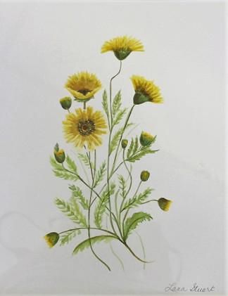 Yellow Straw Flowers