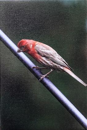 Housefinch-Male