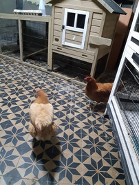 Poules - Pet Sitting - Visite à domicile