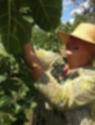 Suzie picking organic figs