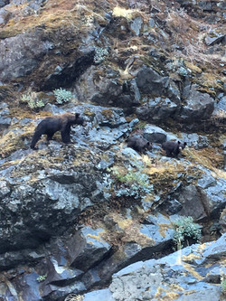 Black bear and cubs on the Rogue