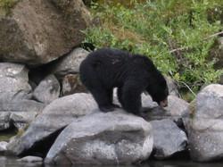 Black bear on the Rogue