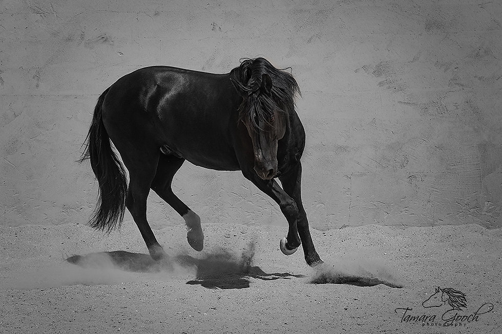 Zheril-Lusitano-Stallion-Photo-RPS_0047.