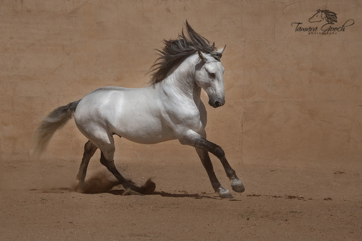 Lusitano-Stallion-Imperio-Photo-AHW_7143