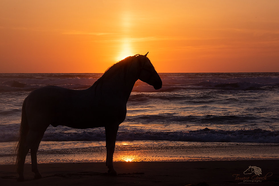Andalusian-Horse-at-Sunset-MXPW_7910.jpg