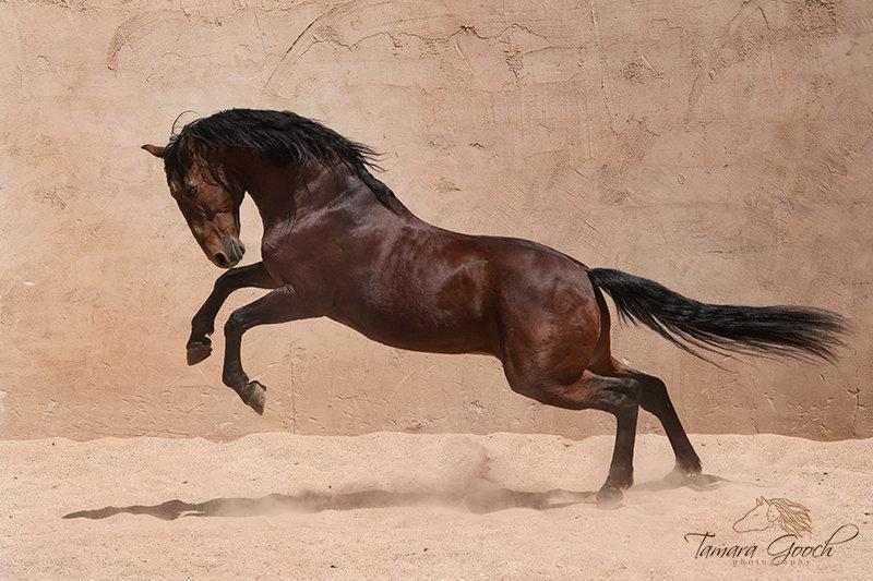 Sherep-Andalusian-Stallion-Photo-RPS_106