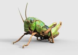 ばったの幼虫
