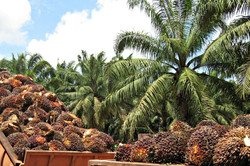 Aceite de Palma Africana