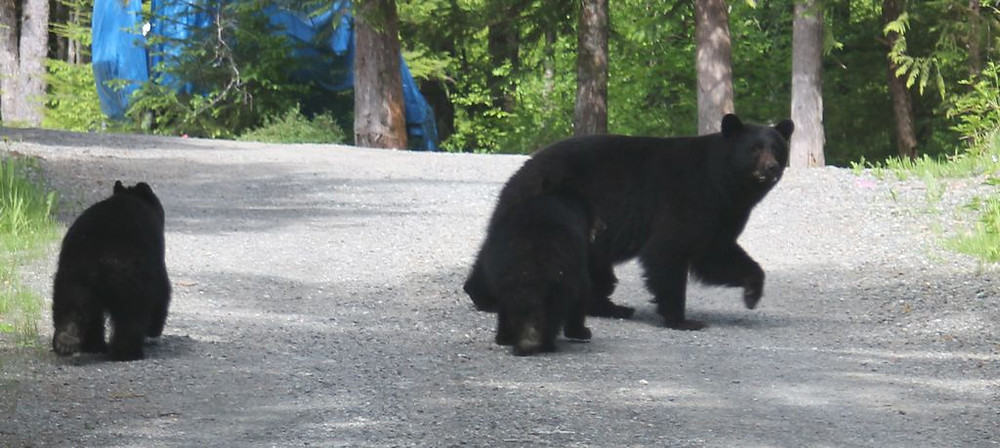 """Mother Bear in my Backyard gives me """"the look"""""""