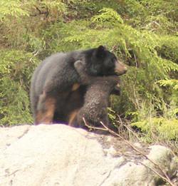 Ketchikan Tours Black Bear & Cub 1k
