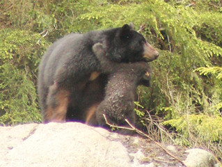 """Bear Viewing Tours -- See Bears In Their Native Habitat -- 87% Chance of Seeing Bears!!!!&quot"