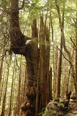 Ketchikan Rainbird gnarled tree