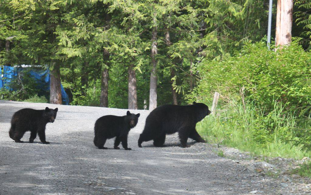 Ketchikan Tours | Backyard Bears