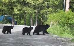 Ketchikan Tours | Backyard Bears