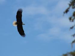 Ketchikan Tours | Bald Eagle, Spread