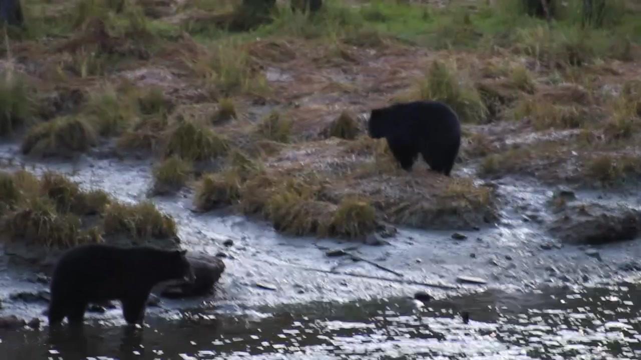 Ketchikan Tours | Bear Cubs Play 1
