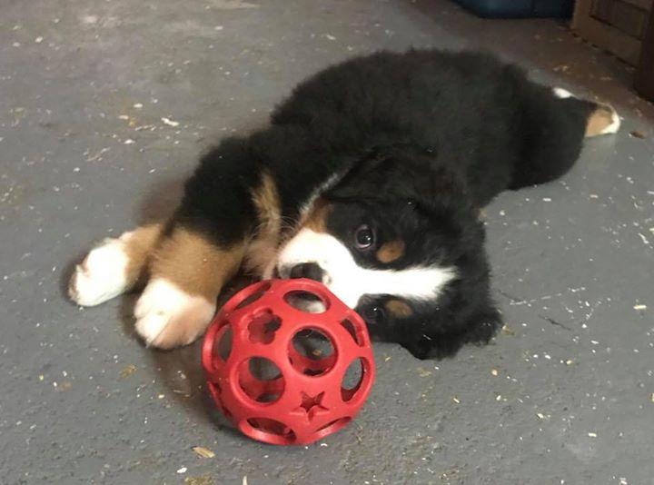 Ce ballon tous les chiots l'adore !_DOLL
