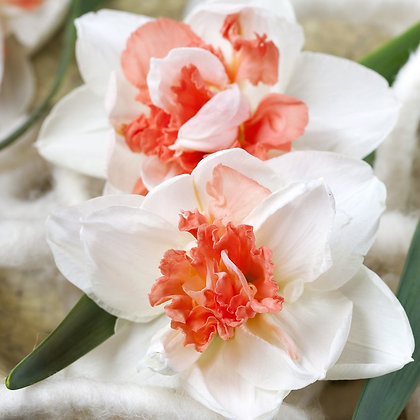 Pink Paradise Narcissus