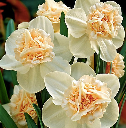 Rosy Cloud Narcissus