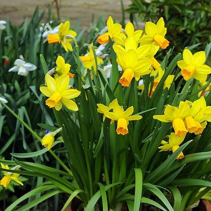 Jetfire Narcissus