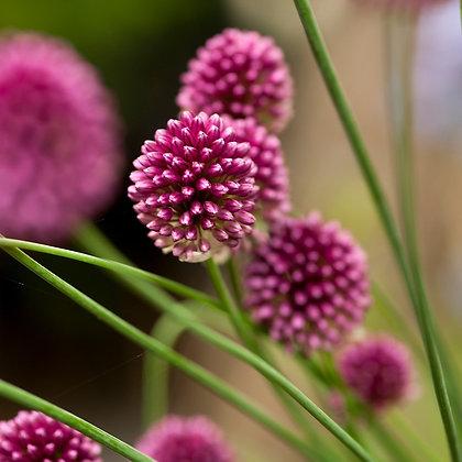 Allium Drumsticks