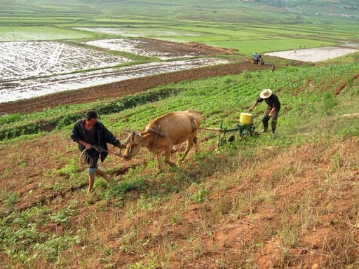 Cultivation in a North Korean Field.