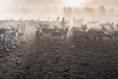 Samis & reindeers 4616