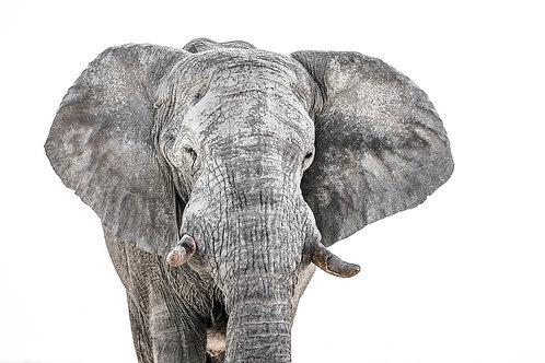 Namibian Elephant