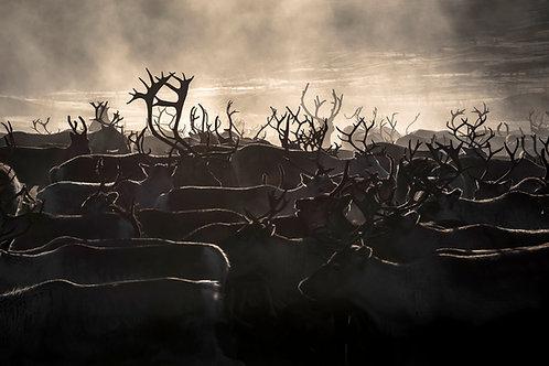 Reindeers 2103