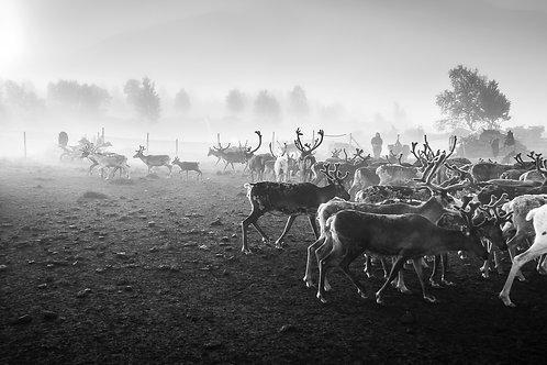 Samis & reindeers 4634