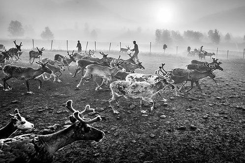 Samis & reindeers 4636